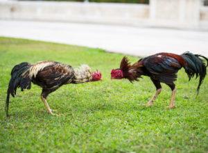 Cuatro latinos son arrestados en operativo contra peleas de gallos