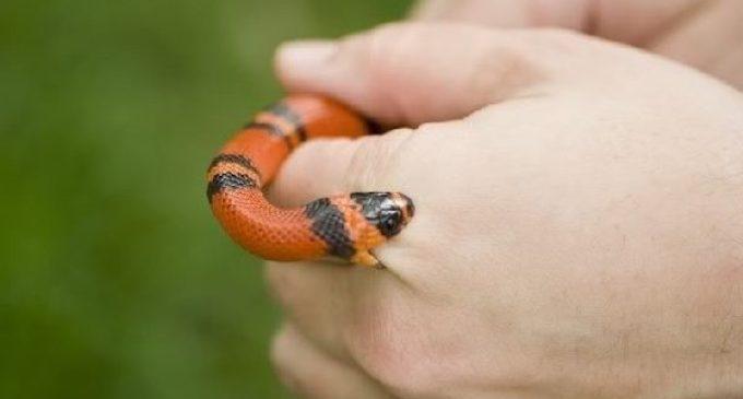 Sube casi un 400 % incidentes de mordeduras de serpientes en Carolina del Norte