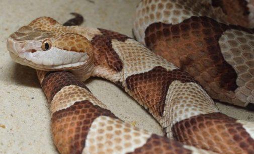 Advierten aumento de actividad de serpientes venenosas en las Carolinas