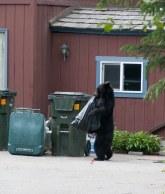 Oso negro sacando comida del basurero