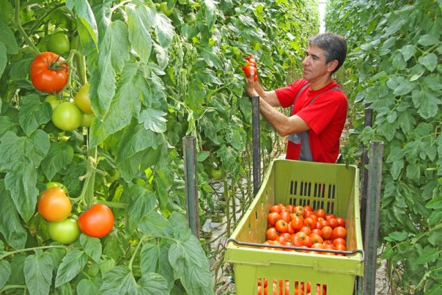 Hombre agricultor, recogiendo tomates.
