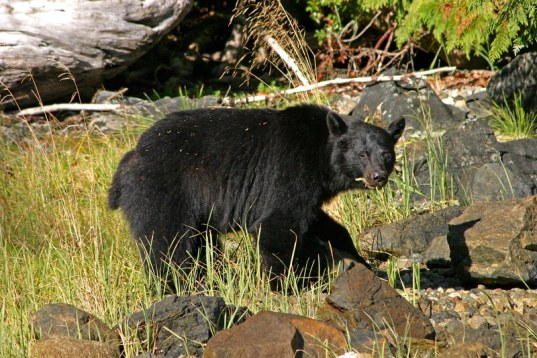 Foto de un oso negro
