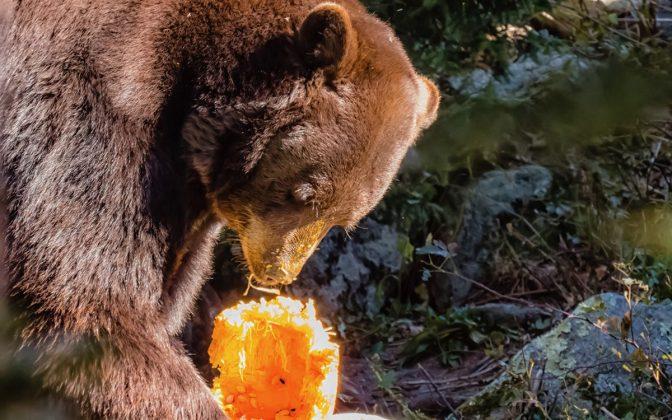Grandfather Mountain celebrará Halloween con osos el 26 de octubre